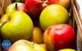Dziś darmowe jabłka wHandzlówce, jutro wAlbigowej